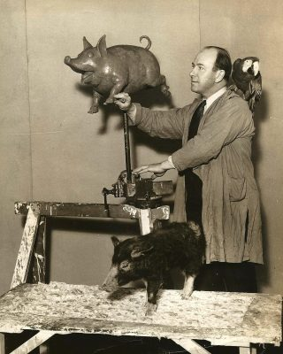 sarg with pig